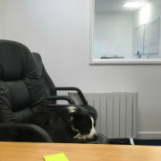 office dog sitting on office chair